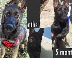 Light Sable German Shepherd German Shepherd Puppy Color Changes South Florida Shepherds