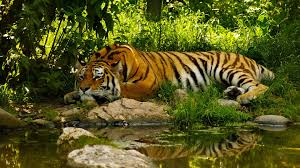tiger hd wallpapers aksharing