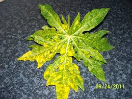 forum pawpaw leaves yellowing
