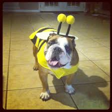 Halloween Costumes English Bulldogs Collection English Bulldog Halloween Pictures 10 English