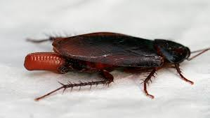 Baby Roaches In Bathroom 10 Interesting Tidbits And Little Known Facts About Cockroaches