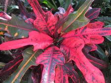 croton society palmpedia palm grower u0027s guide