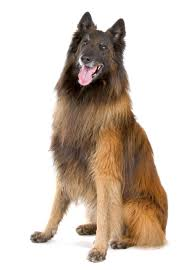 belgian sheepdog south africa pet information archives