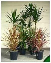 indoor ornamental trees how to choose an indoor tree