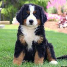 belgian sheepdog puppies for sale in michigan bernese mountain dog puppies for sale greenfield puppies
