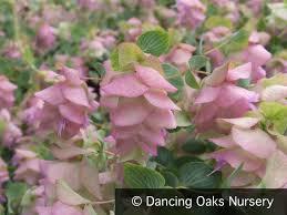 origanum kent ornamental oregano oaks nursery