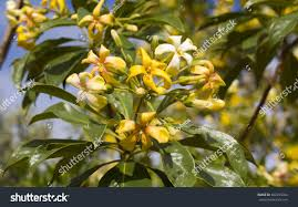 beautiful fragrant flowers hymenosporum flavum native stock photo