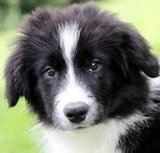 australian shepherd zu verschenken border collie welpen u0026 hunde kaufen u0026 verkaufen markt de