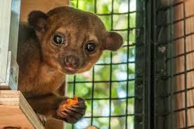 folsom zoo christmas lights 2017 who s who in the folsom zoo meet bindi and quinn the kinkajous