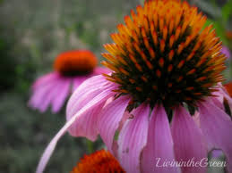 echinacea flower livin in the green echinacea 3 reasons to grow this medicinal