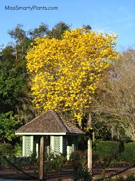 Yellow Flowering Trees - yellow flowers tabebuia trees miss smarty plants