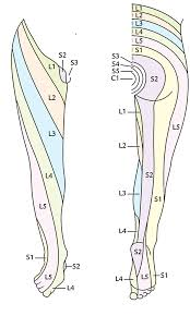 Innervation Of Infraspinatus Segmental Innervation Of The Lower Limb Earth U0027s Lab