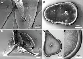 functional morphology of tarsal adhesive pads and attachment