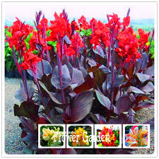Canna Lily Aliexpress Com Buy Big Promotion 100 Pieces Pack Beautiful