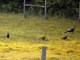 Backyard Turkeys Wild Turkey Nursery The Daily Farm Adventures 60 Walking In