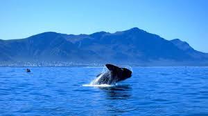 hermanus whale festival programme 29 september 1 october 2017