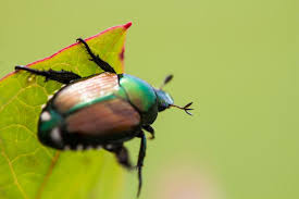 How To Find Ladybugs In Your Backyard How To Get Rid Of Japanese Beetles Control Bugs And Garden Pests