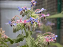list several plants native to south america 12 beautiful blue flowering plants for the garden