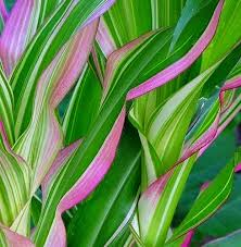 striped corn zea mays japonica 25 seeds japanese
