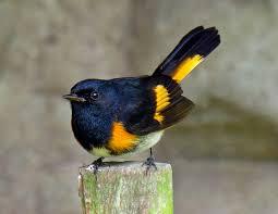 common birds of dabg dothan area botanical gardens