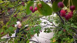 fairhill native plants wild edibles u2013 philadelphia orchard project