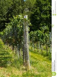 vineyard trellis and grape vine stock photo image 47090682
