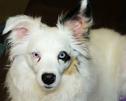 australian shepherd double merle my dogs best
