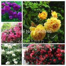 wholesale roses marseed 5 style wholesale 500 pcs bag flower plants climbing