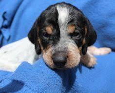 bluetick coonhound genetics bluetick coonhound puppy i want one wish list pinterest