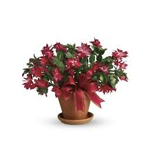 christmas plants christmas plants flower shopping