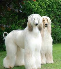 afghan hound pictures what a beauty u0027s afghan hounds pinterest afghan hound