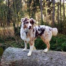 australian shepherd indiana pin by d r e a m d o g s on australian shepherd pinterest