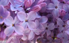 Lilac Flower by Lilac Flowers Wallpapers 24