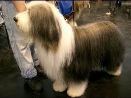 bearded collie adoption bearded collie dog u0026 puppies information video animal videos