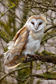 barn owl the most common throughout the many versions