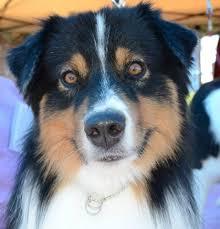 sims 3 australian shepherd client dogs