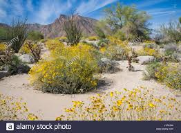 Anza Borrego Wildflowers Super Bloom by Anza Borrego Desert Sp Stock Photos U0026 Anza Borrego Desert Sp Stock