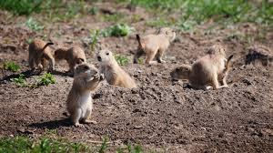 saving the native prairie u2014 one black footed ferret at a time npr