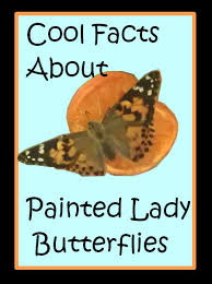 cool facts about painted butterflies butterfly insects and