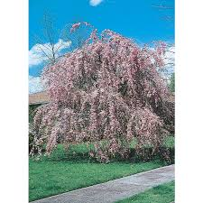 shop 5 5 gallon weeping cherry feature tree l3232 at lowes