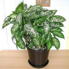 plante verte bureau plante verte interieur depolluante le chlorophytum une plante