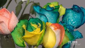 multi colored roses how to make rainbow roses