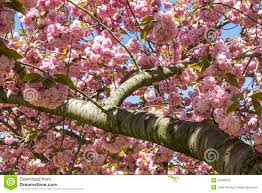 cherry tree branch blossoms stock photo image of branches