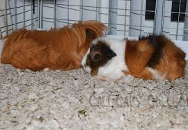 Newspaper Bedding Cali Cavy Collective A Blog About All Things Guinea Pig Secrets