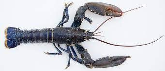 cuisiner un homard vivant le homard cuisine à l ouest