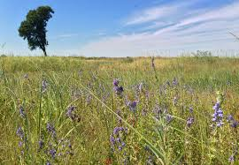 nebraska native plants hubbard fellowship blog u2013 lobelias and pollinators the prairie