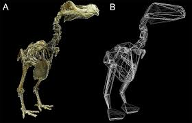 convex hull mass estimates of the dodo raphus cucullatus