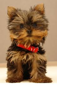 2287 best yorkies sweet yorkie love images on