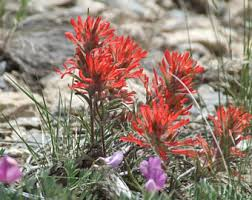 indian paintbrush flower indian paintbrush etsy