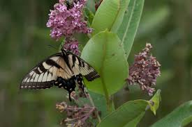 free picture tiger swallowtail butterfly feeds